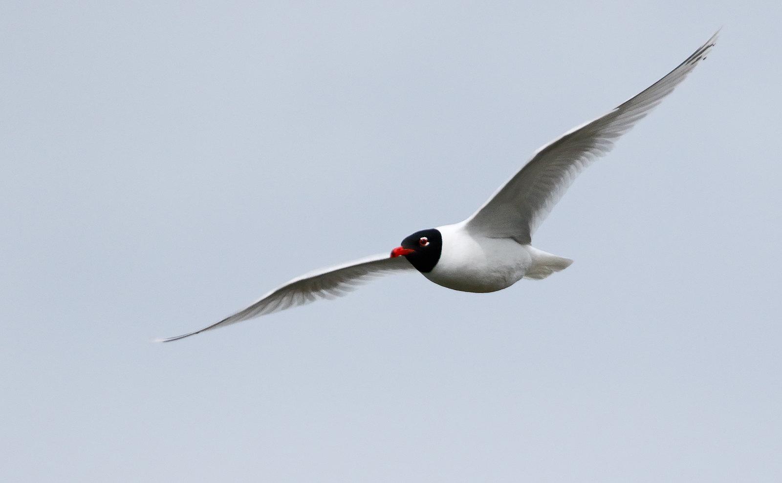 Mediterranean Gull - 2nd summer Gull