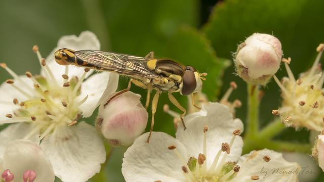 Long Hoverfly (lat. Sphaerophoria scripta) male