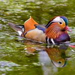 Mandarin duck reflection