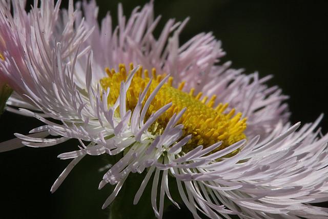 Daisy Fleabane (Tiny Wildflower)