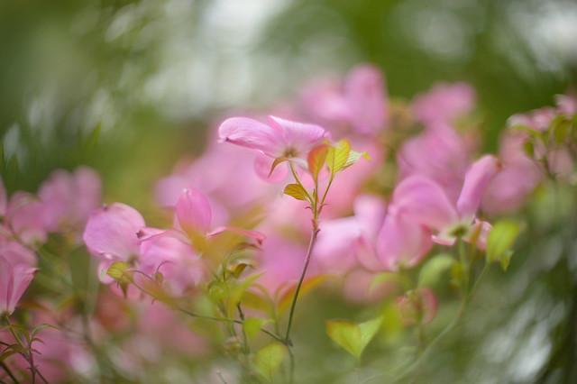 Pink Swirl...
