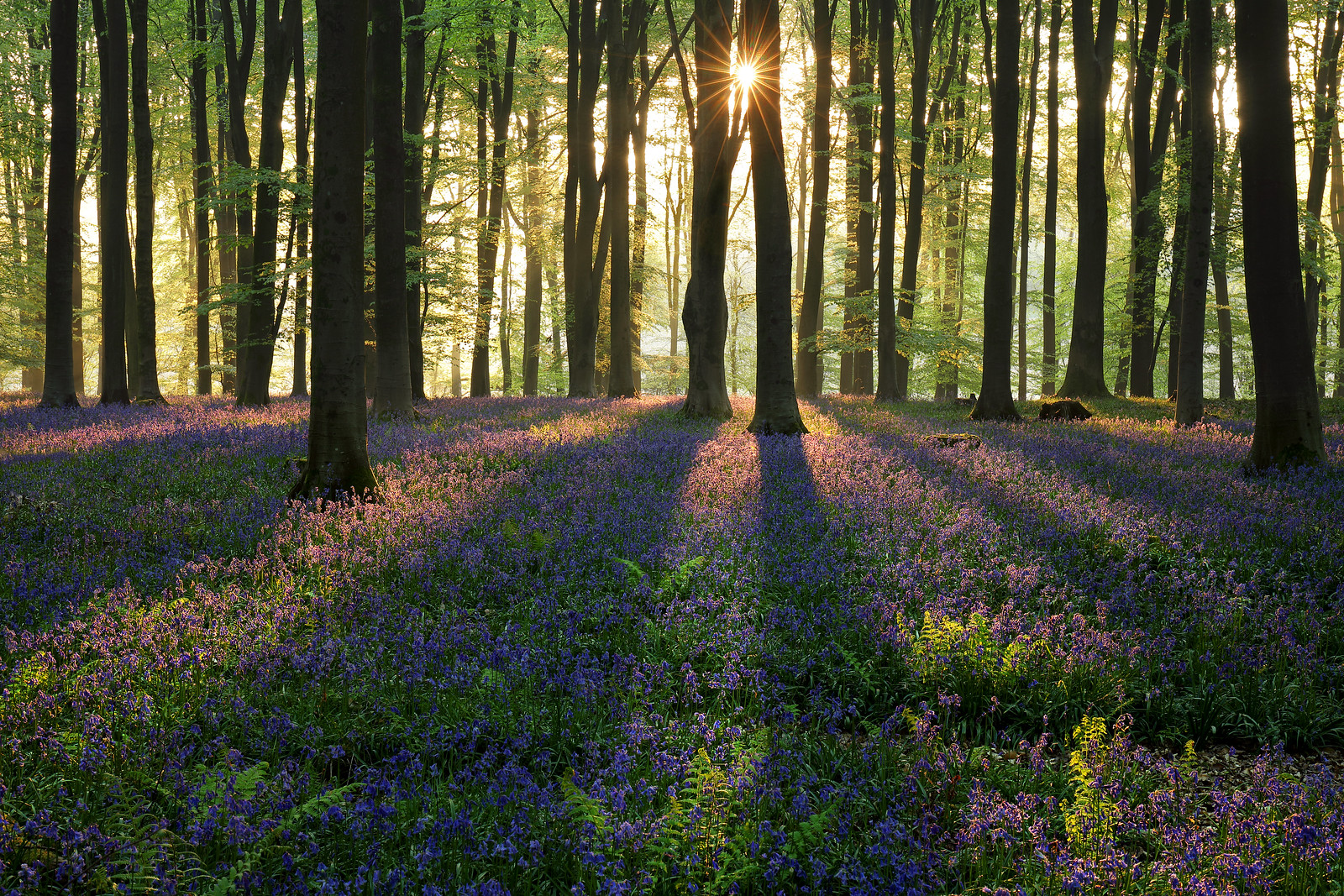 Micheldever Bluebells at Dawn