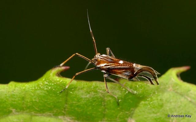 Planthopper, Delphax sp.? Delphacidae