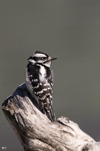 ''Dans de le vent!''PIc mineur-Downy woodpecker