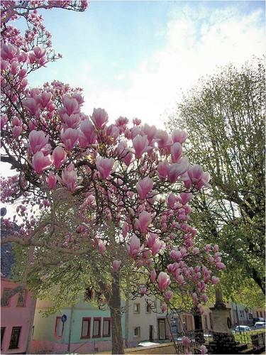 printemps frühling spring blüten blosom natur nature landschaft sachsen saxony saxe mitteldeutschland centralgermany ostdeutschland eastgermany allemagnedelest landscape geithain