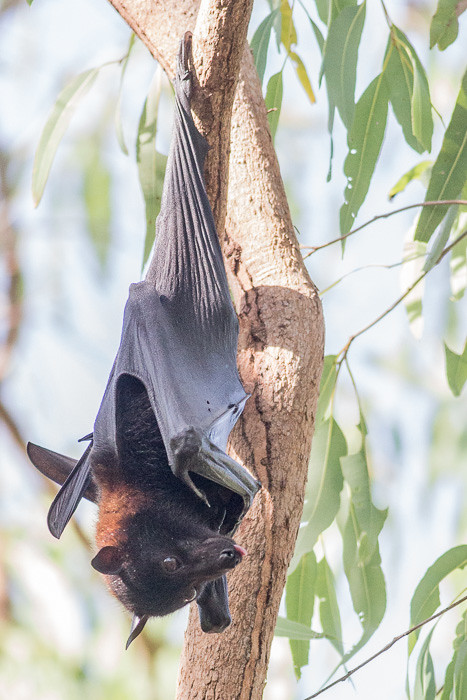black flying fox maybe