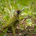 Green woodpecker by hedera.baltica