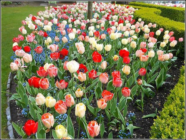 Tulip Flower Bed ..