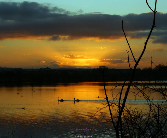 Swans at sunset on Lough Neagh