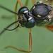 Spider wasp, Sai Kung, Hong Kong by steen heilesen