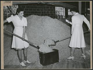 Potato factory workers Dorothy Higgins and Barbara Cochrane shovel dehydrated potatoes into a container... / Les ouvrières d'usine Dorothy Higgins et Barbara Cochrane pelletant des pommes de terre déshydratées dans un récipient...