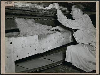 A man employed at a factory where potatoes are dehydrated, Kentville, Nova Scotia / Homme travaillant dans une usine où les pommes de terre sont déshydratées, Kentville (Nouvelle-Écosse)