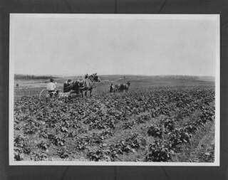 Cultivating potatoes, Centreville, New Brunswick / Culture de pommes de terre, Centreville, Nouveau-Brunswick