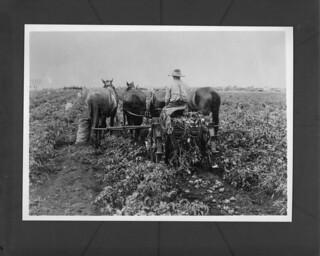 Digging up potatoes, Hammond, Alberta / Récolte de pommes de terre, Hammond, Alberta