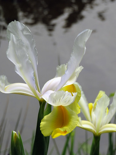 Yellow and white Flag Iris