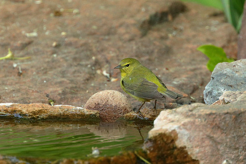 Orange-crowned Warbler (6410) | by Bob Walker (NM)