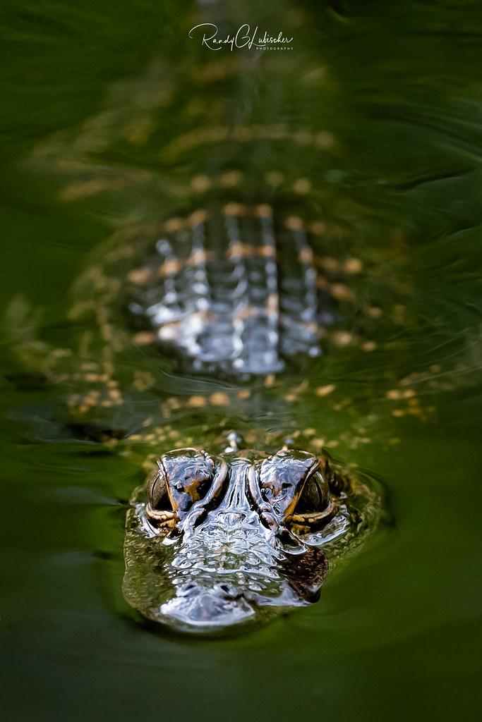 American Alligator - Alligator mississippiensis   2019 - 2