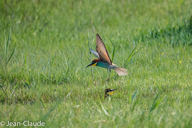 Merops apiaster - Bee-eater