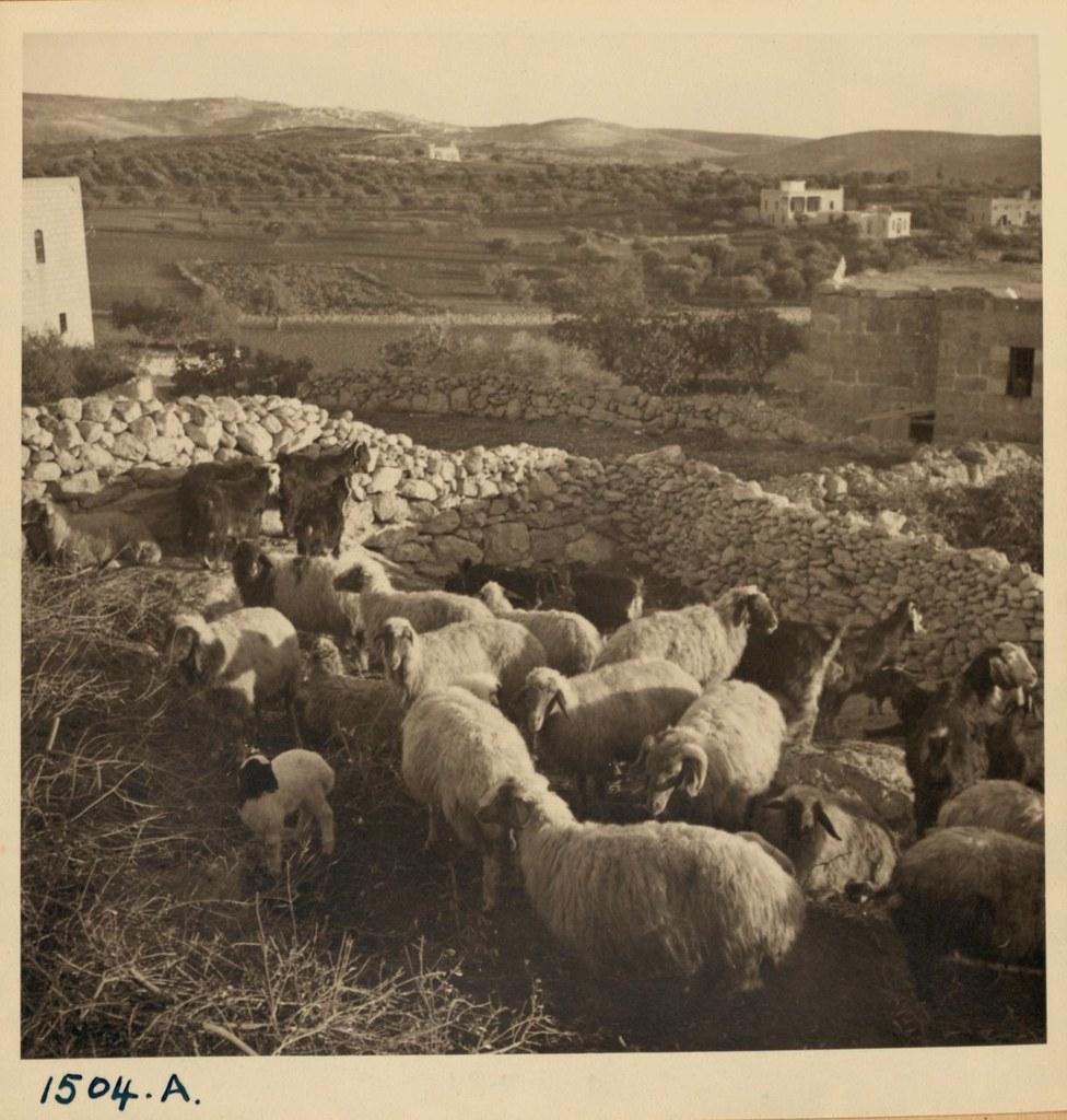 24. Стадо в овчарне над пещерой. Снято в Бейт-Сахуре вечером 3 декабря и утром 4 декабря