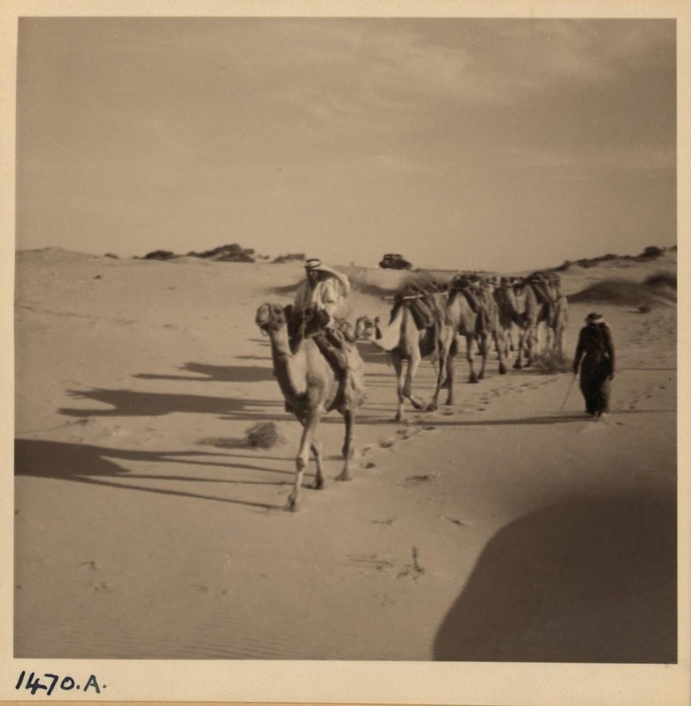 22.  Верблюды на песчаных дюнах к югу от Беньямины, 10 октября