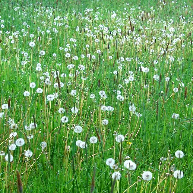 blowball meadow