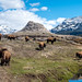 Soda Butte and Bison at peace