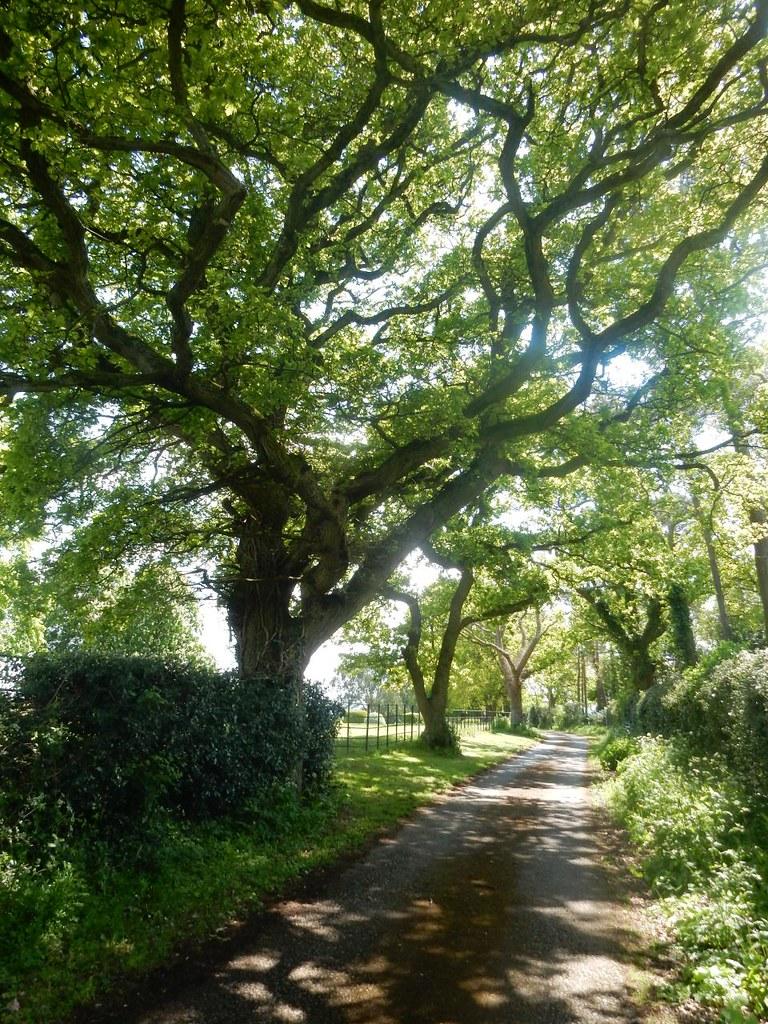 Line of oaks Aldermaston to Woolhampton