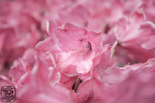 Balloch Castle Blooms