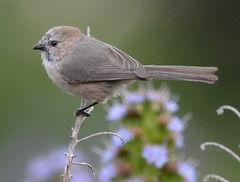 Bushtit, Male (Pacific)