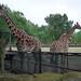 Sassy Giraffes (1)