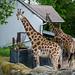 Sassy Giraffes (3)