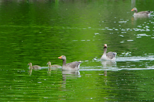 Three greylag goose families, West Park