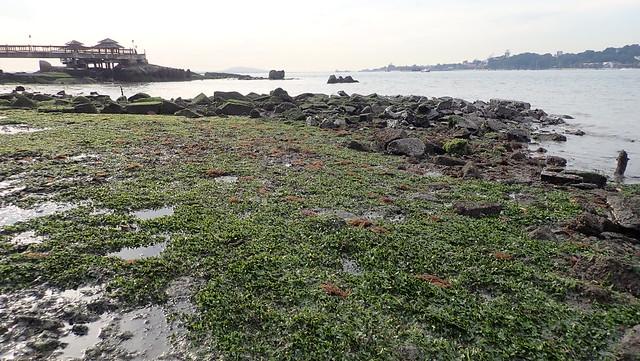 Seagrass meadows next to Ubin Jetty