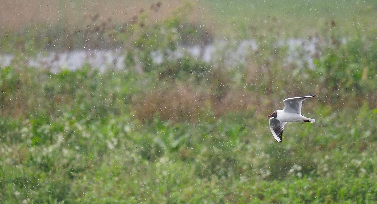 Black-headed Gull in rain shower