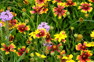 Roadside wildflowers, Texas Hill Country (HWY 41)