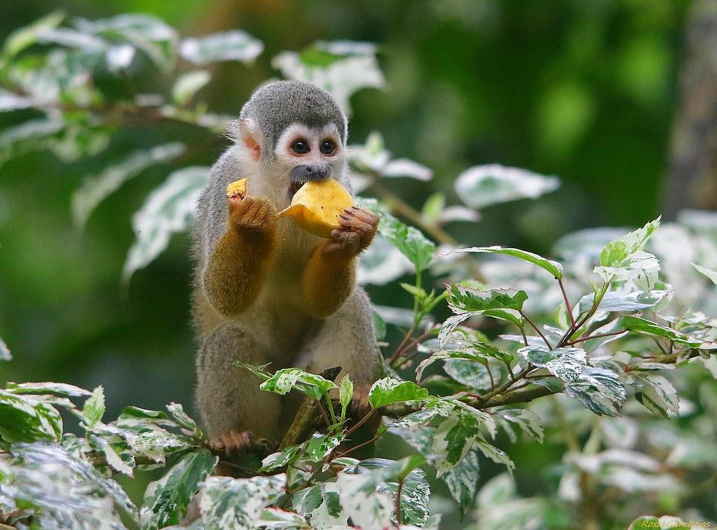 Mono Ardilla | Squirrel monkey (Saimiri sciureus)