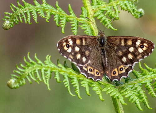 After the rain - Speckled Wood