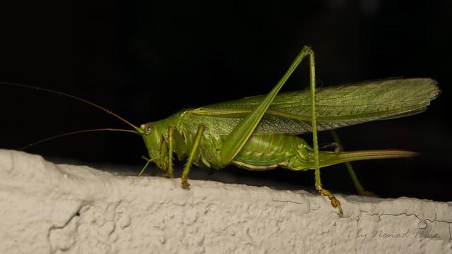 Great green bush-cricket (lat. Tettigonia viridissima) female