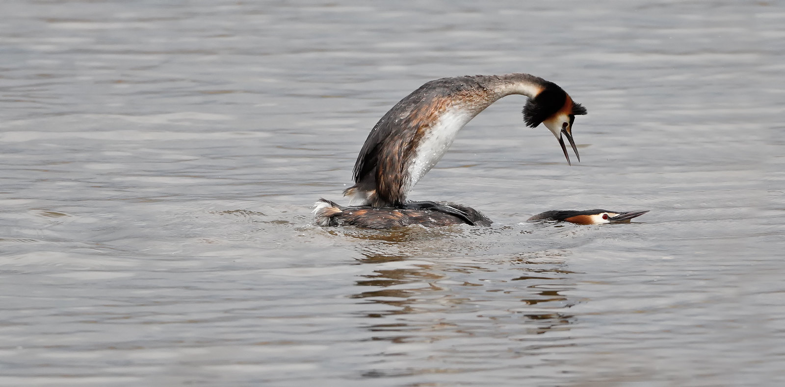 GC Grebes mating