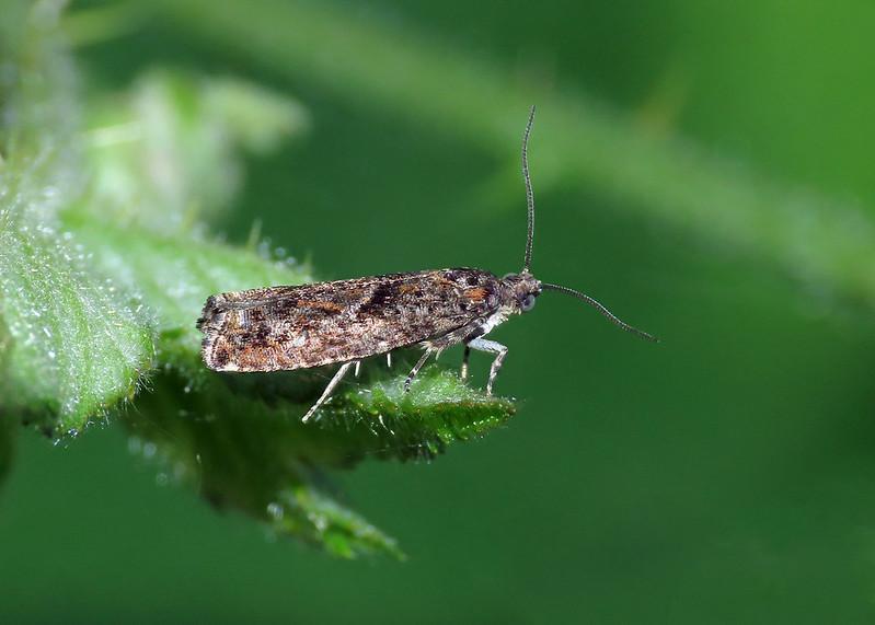 49.240 Common Birch Bell -  Epinotia immundana