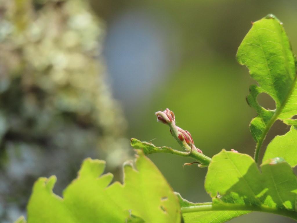 多數殼斗科植物,展葉與開花接連發生;少數如南投石櫟則是分開的。圖為展葉中的殼斗科植物。攝影:廖靜蕙