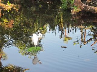 Birds-Great Egret6