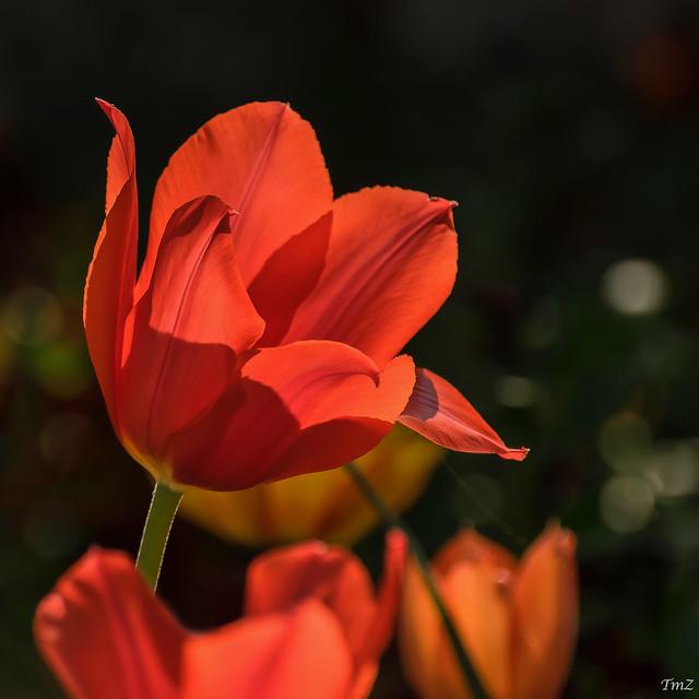Bokeh de tulipes !!