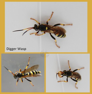Digger Wasp ?