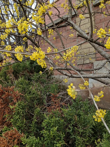 Forsythia blooming in Ontario spring