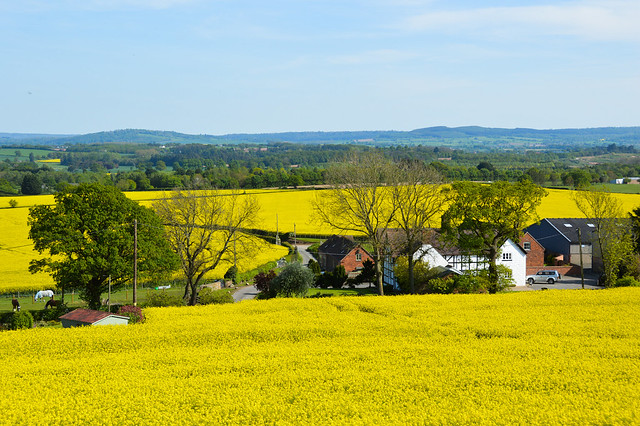 Shropshire Rapeseed Fields