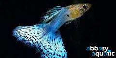 Guppy Blue Japan