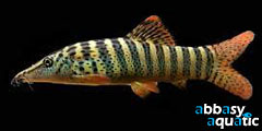 Redfin Tiger Loach
