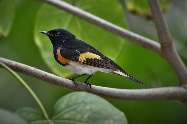 _DSC6560 (3) American Redstart - Male -Lantana Preserve Palm Beach County Florida USA - NGEBC