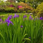 Blue Iris in the Shin'en Garden of Umenomiya Taisha in Kyoto!